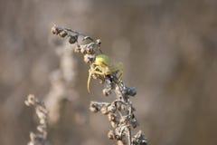 蜘蛛吃一只蚂蚁 免版税库存照片