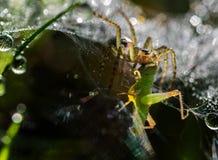 蜘蛛吃一只蟋蟀 库存照片