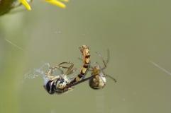 蜘蛛和其牺牲者 库存照片