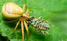 蜘蛛和牺牲者 库存照片