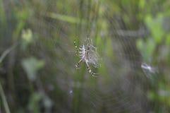 蜘蛛和蜘蛛网在绿色叶子背景中  免版税图库摄影