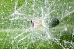 蜘蛛哺养 免版税库存图片