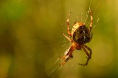 蜘蛛在早晨的阳光下在它的网的 库存照片