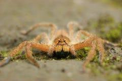 蜘蛛在森林区域,万隆,印度尼西亚 库存图片