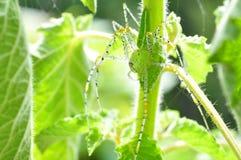 蜘蛛在泰国 库存照片