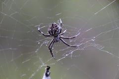 蜘蛛在Pilliga森林里 免版税库存照片