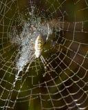 蜘蛛坐一个湿网 免版税库存照片