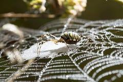 蜘蛛坐一个湿网 免版税图库摄影