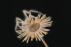 蜘蛛坐一朵干燥花 库存照片