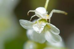 蜘蛛坐一束小白花 免版税图库摄影