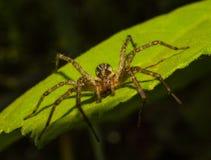 蜘蛛坐一片绿色叶子 库存照片