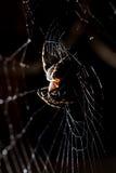 蜘蛛坐在狩猎上的一个网 免版税库存图片