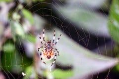 蜘蛛坐网 库存图片