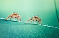 蜘蛛孪生 免版税图库摄影