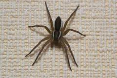 蜘蛛宠物 库存图片