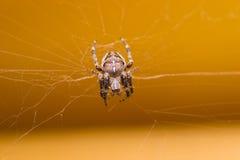蜘蛛宠物 免版税库存图片