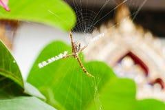 蜘蛛居住并且修造它的在树的纤维 免版税图库摄影