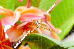 蜘蛛居住并且修造它的在树的纤维 图库摄影