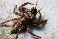 蜘蛛捉住了一个牺牲者 免版税库存照片