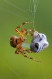 蜘蛛捉住了飞行 库存照片