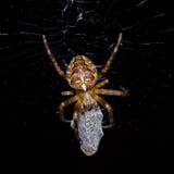 蜘蛛掠食性动物 免版税库存图片