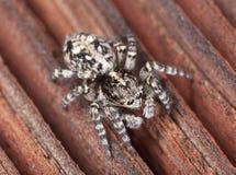 蜘蛛斑马 库存图片