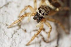 蜘蛛斑马 库存照片