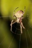 蜘蛛晚上 库存照片