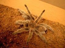 蜘蛛智利人玫瑰色塔兰图拉毒蛛Grammostola rosea 库存图片