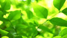 蜘蛛本质上有绿色叶子背景 股票录像
