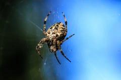 蜘蛛特写镜头的宏观照片 蜘蛛编织一个蜘蛛网 Araneus特写镜头坐蜘蛛网 Araneus diadematus的照片 库存图片