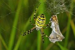 蜘蛛牺牲者 免版税库存照片