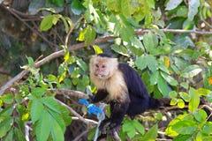 蜘蛛猴观看的河交通 免版税库存图片