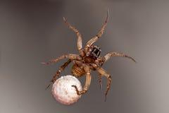 蜘蛛用鸡蛋 库存照片