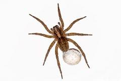 蜘蛛用鸡蛋 库存图片