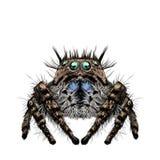 蜘蛛略图 皇族释放例证