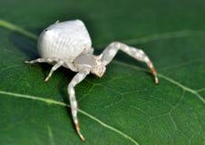 蜘蛛白色 图库摄影