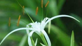 蜘蛛百合头状花序白色高定义英尺长度 股票视频
