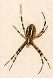 蜘蛛的宏指令她的网 免版税库存照片