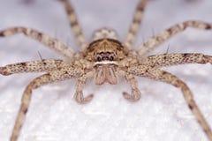 蜘蛛的面孔 免版税库存图片
