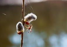 蜘蛛编织在杨柳分支上的一个网  免版税库存图片