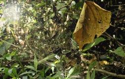 蜘蛛网和干燥叶子在森林里 图库摄影