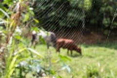 蜘蛛网和母牛 库存照片