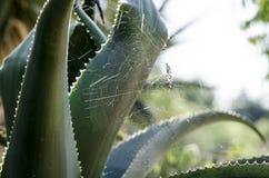 蜘蛛网在芦荟维拉厂中 库存照片