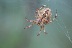 蜘蛛网坐的蜘蛛 图库摄影