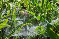 蜘蛛网草抽去与从早晨露水的水下落 免版税库存照片