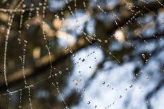 蜘蛛网,露水,在蜘蛛网的昆虫下落  免版税库存图片