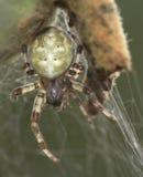 蜘蛛草甸Araneus quadratus。 免版税库存照片