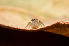 蜘蛛跳跃 库存图片