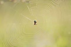 蜘蛛转动了在夏天绿色草甸上的一个网 免版税库存照片